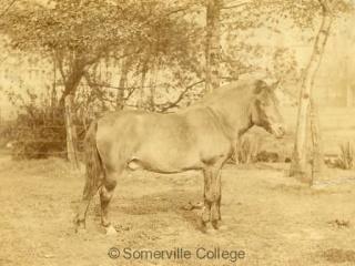College Pony